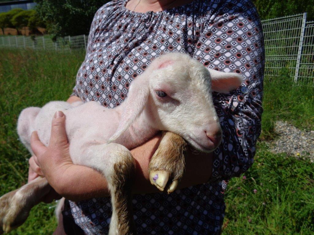 La petite agnelle née dans la nuit du 19 au 20 mai 2021.